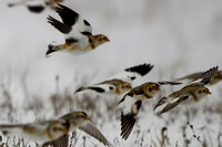 Snow Buntings - Whitewater