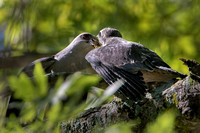 Female Mississippi Kite Feeding Fledgling