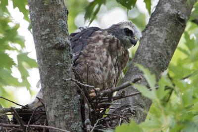 8/15/16 Mississippi Kite Nestling