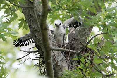 8/3/16 Mississippi Kite Nestling