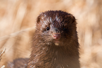 This mink snuck up next to me.  It got within 4' of where I was lying in the grass.