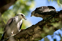 8/17/16 Adult Male Mississippi Kite Feeding Fledgling