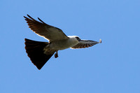 8/21/16 Adult Male Mississippi Kite Carrying Food