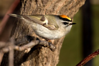 Warblers, Kinglets, and Other Small Songbirds