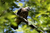 8/21/16 Mississippi Kite Fledgling